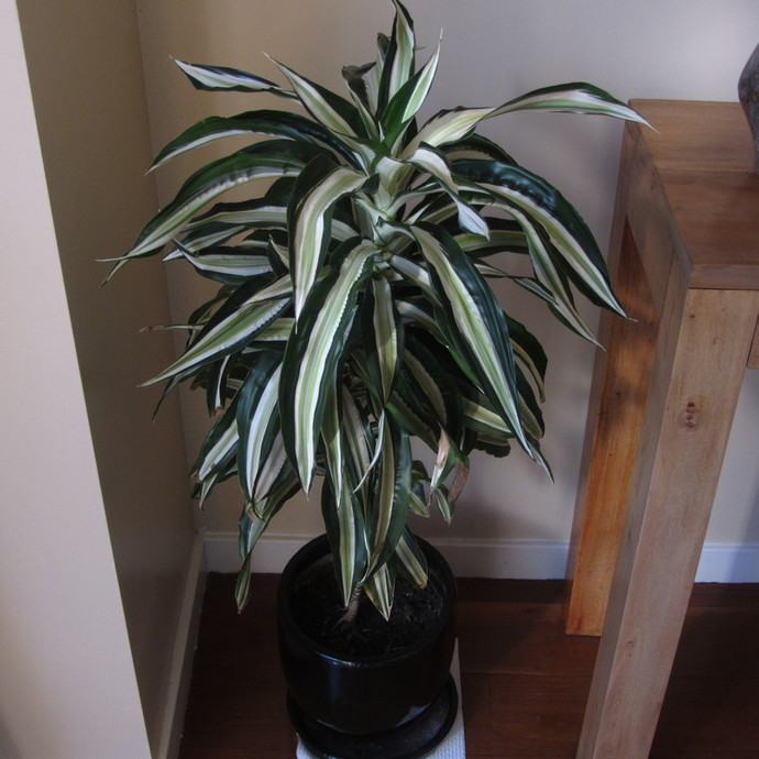 the new pink Chinese Evergreen