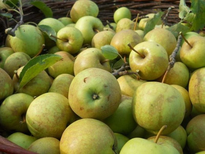apple tree  - Apple cider vinegar - Mother Nature's miracle tonic
