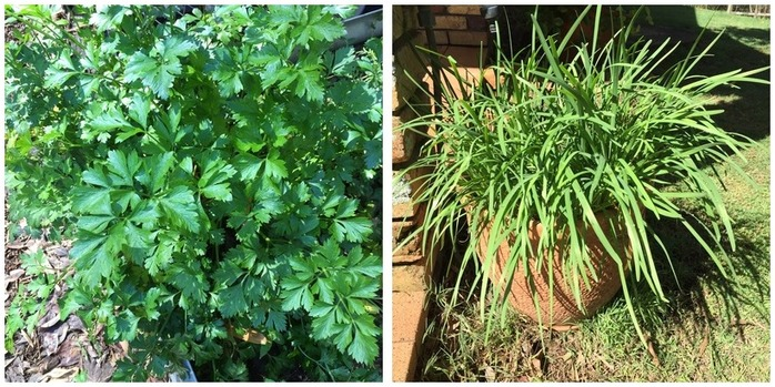 Easy herbs to grow at home  Montage