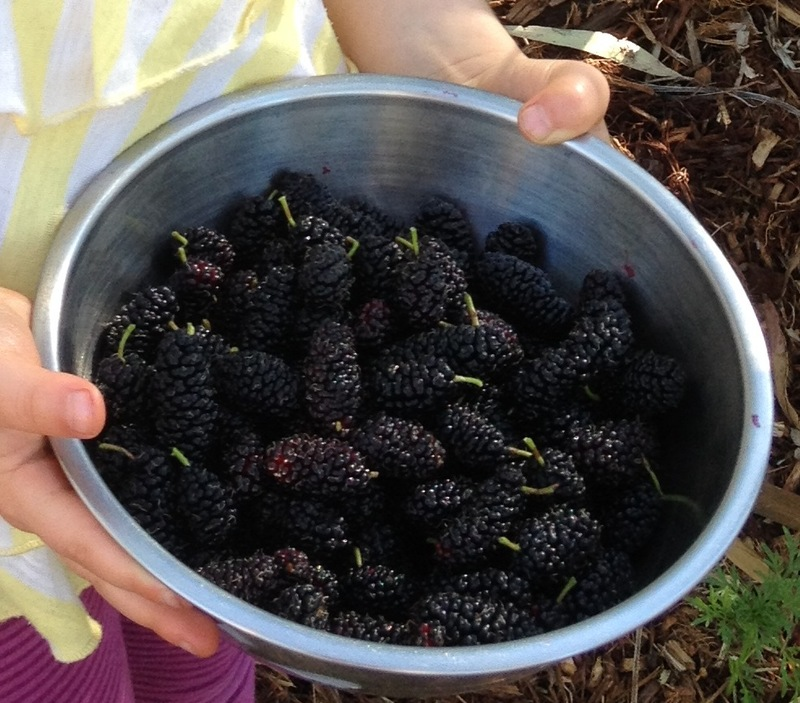 Fresh mulberries…yum!