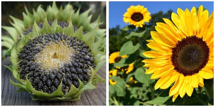 Health benefits of sunflower seeds Montage