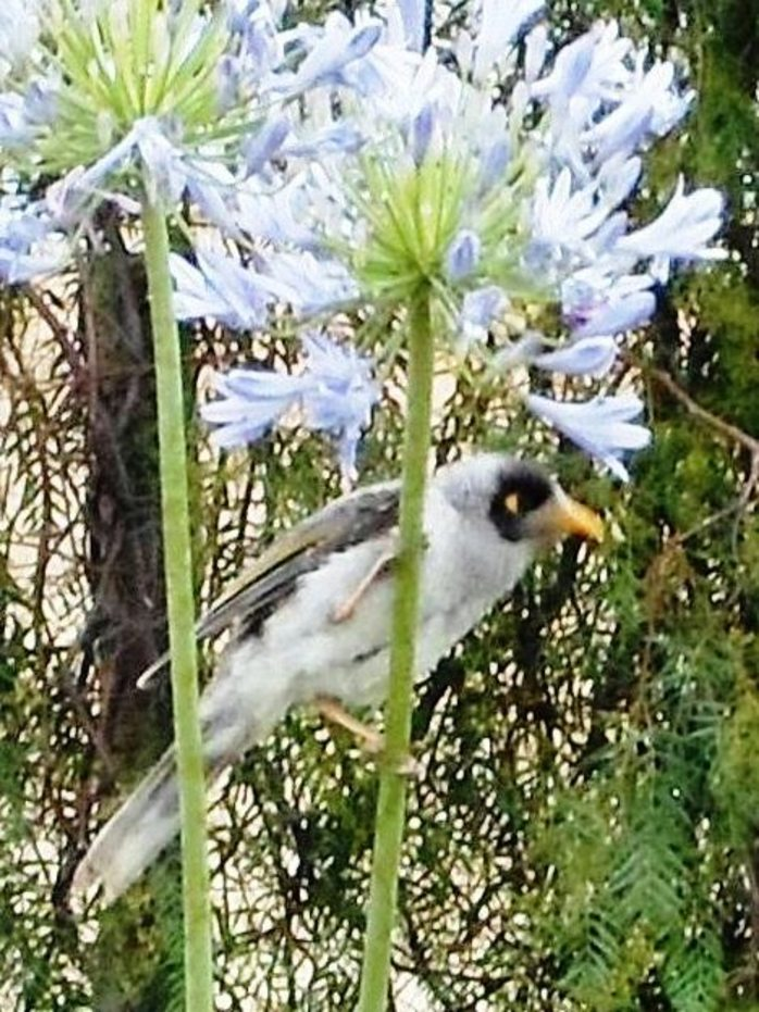 Noisy Miner And Agapanthus