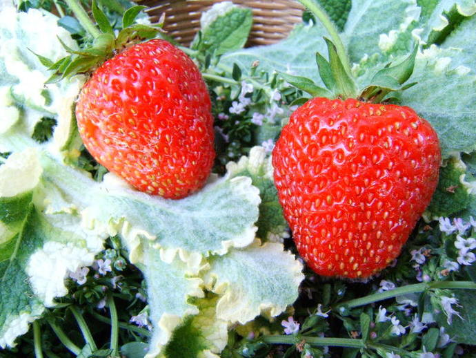 strawberries, dirty dozen, strawberries and pesticide, pesticide, sprayed fruits, toxic fruits
