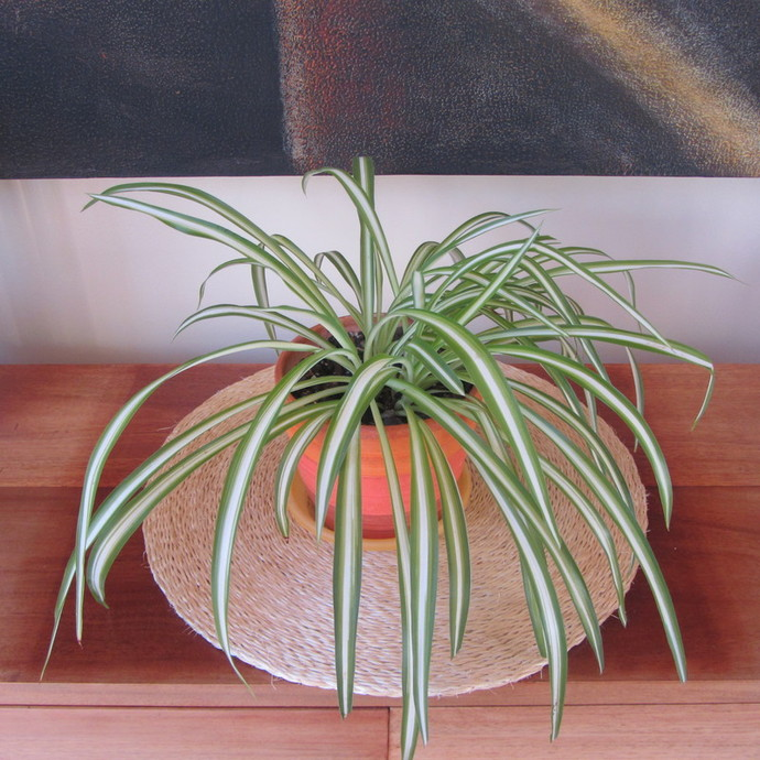 the air filtering Spider Plant