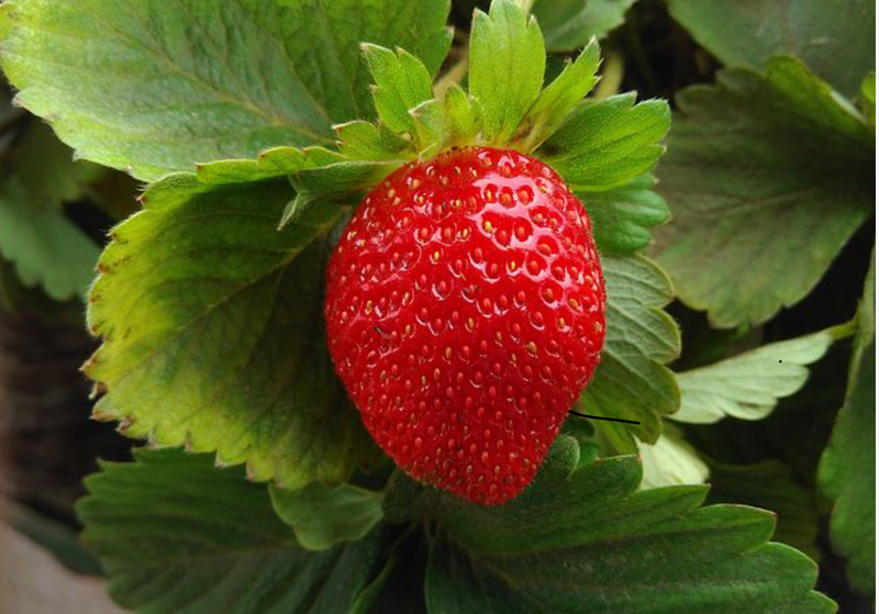 The strawberry - Queen of fruits