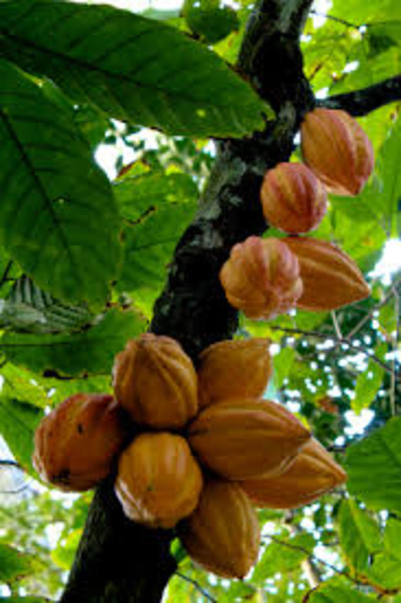 theobroma cacao, raw cacao, raw cacao benefits, raw cacao debate
