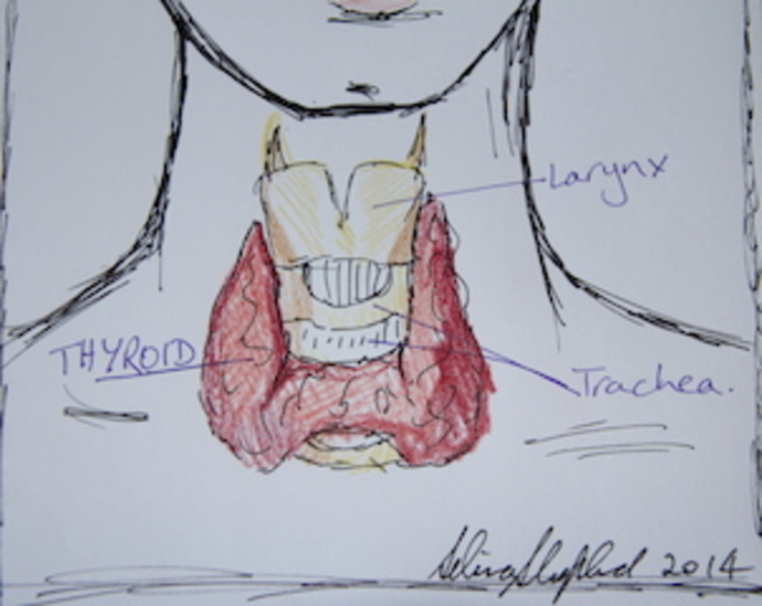 Thyroid image sketched by Selina Shapland 2014